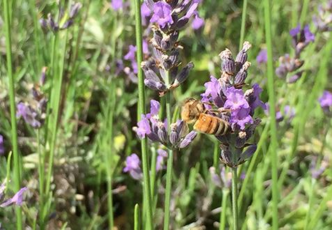 丸の内で蜜を集めるミツバチ